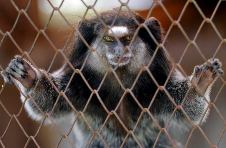 marmoset monkey pet legal