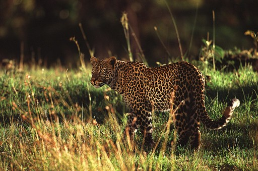 web_photo_leopard_180413
