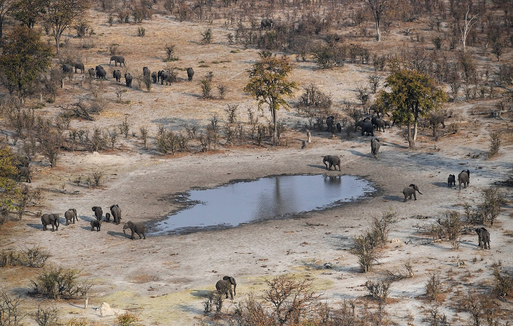 Elephants roam in the plains of the Chobe district, on September 19, 2018. Elephants Without Borders (EWB) claimed two weeks ago that it had discovered at least 87 elephant carcasses suggesting a sudden spike in killings in recent months.