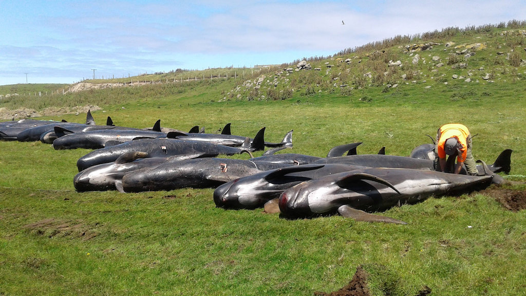 Dead pilot whales are seen at the coast of Chatham Island, New Zealand.