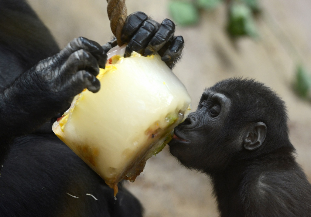 A young western lowland gorilla Richard eats frozen fruits in its enclosure at Prague Zoo during a heatwave.