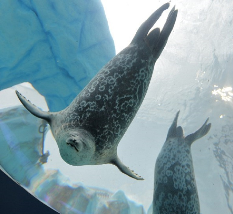 Ringed seals swim in a water tank at the Osaka Aquarium Kaiyukan.