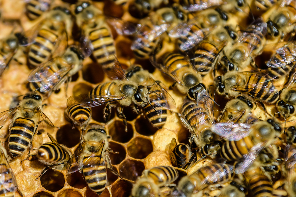 File: Honeybees too can learn to match symbols and numerosities, much like we humans do with Arabic and Roman numerals.