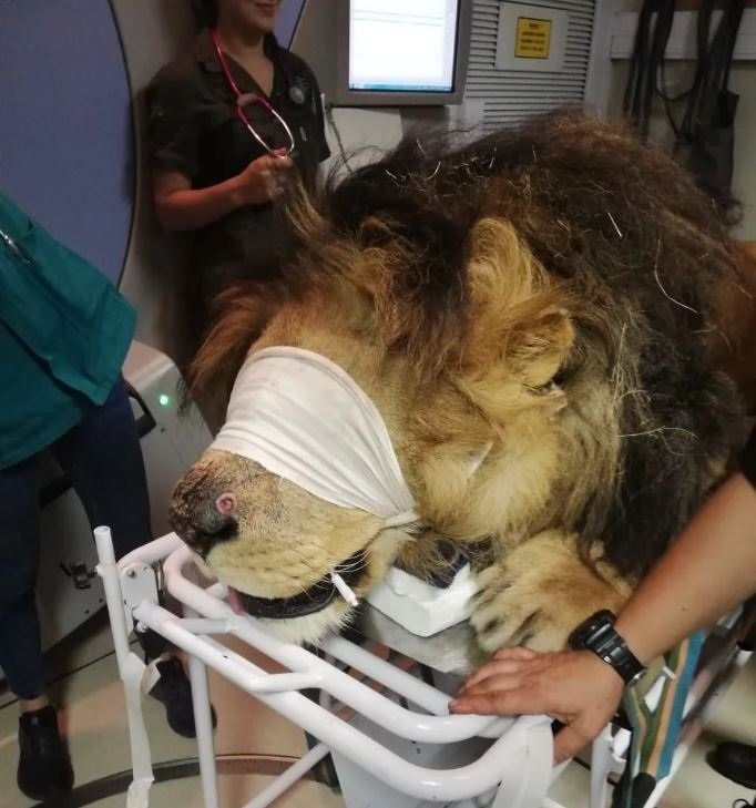 Chaos, the lion, during his first radiation therapy session last week Tuesday.