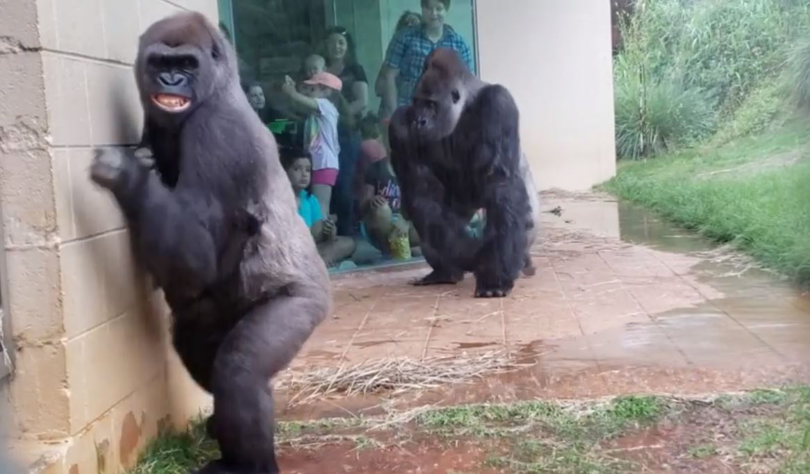 Gorillas from the Riverbanks Zoo and Garden trying to escape the rain