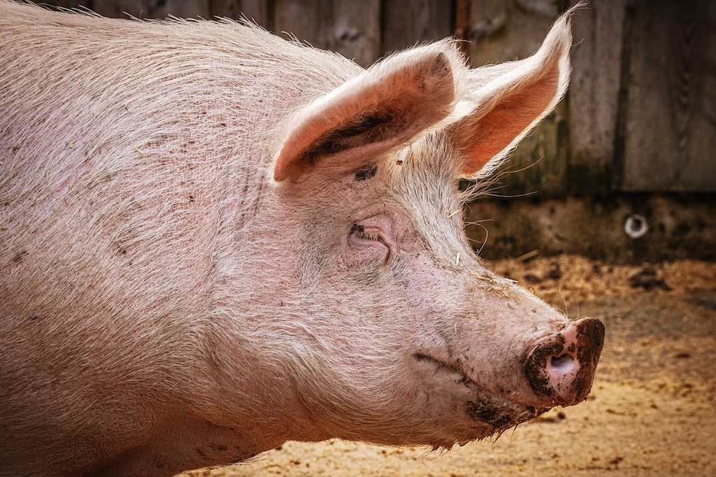 Vietnam culls 1.2m pigs as African swine fever spreads nationwide