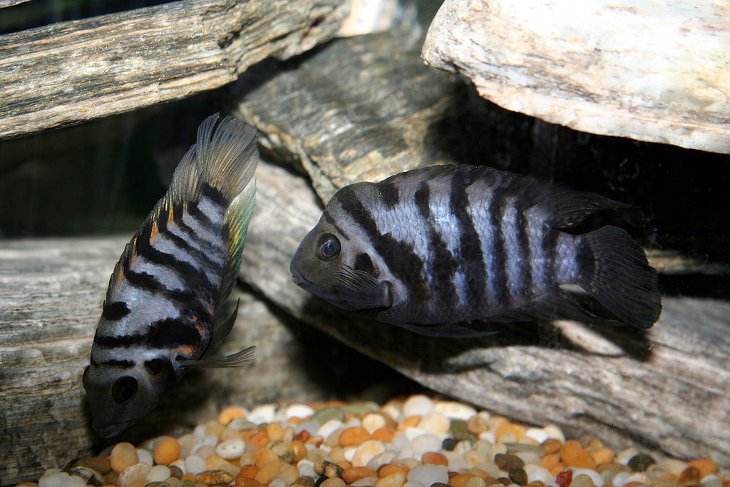 "File: Female cichlids, when paired with a male who is not their preferred partner, were shown in experiments to exhibit ""pessimistic"" behaviour."