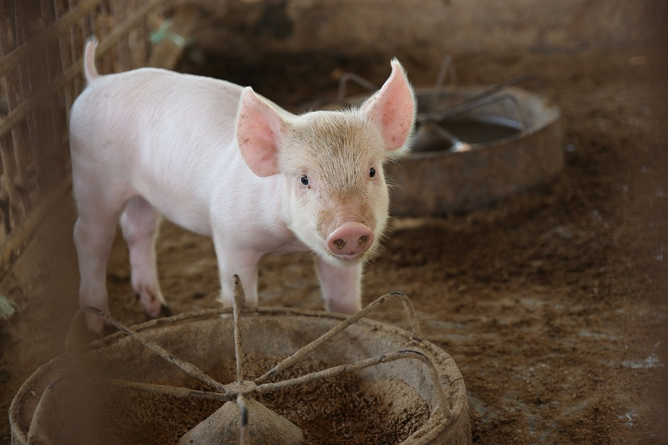 File: Farmers are encouraged to not feed pigs leftover food and not buying pigs of unknown origin.