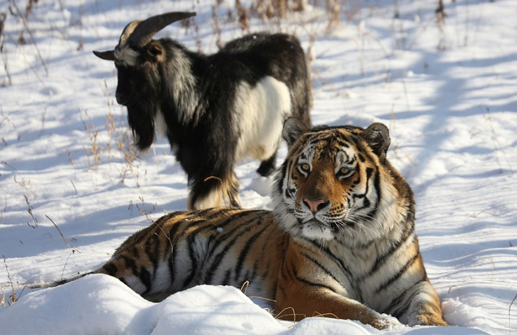 Image result for russian goat named timur