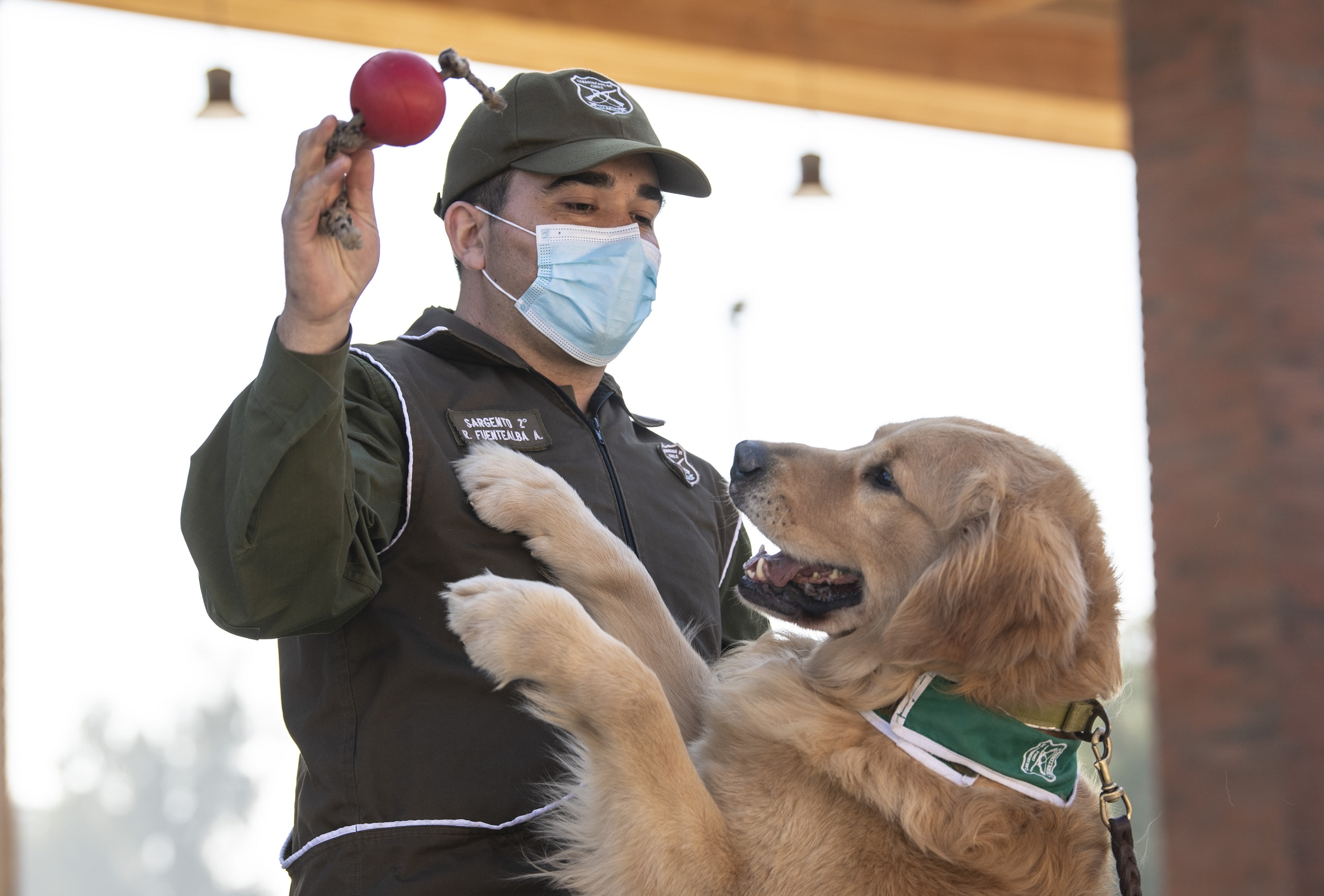 A member of the Chilean Police Canine Training team plays with a Golden Retriever dog named Clifford before the beginning of its training session aimed to detect people infected with COVID-19.