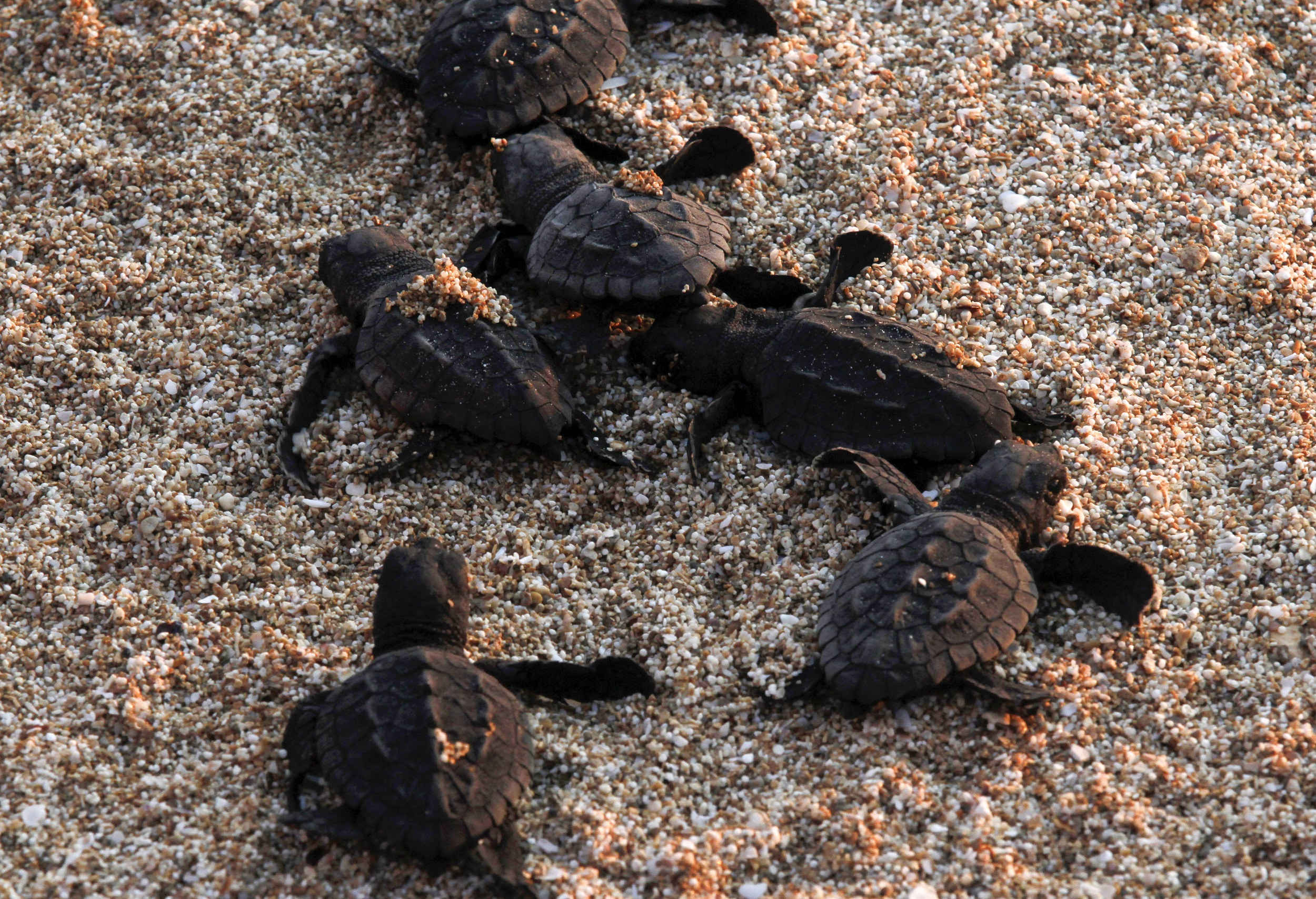 Thousands Of Baby Turtles Get First Taste Of The Sea Enca