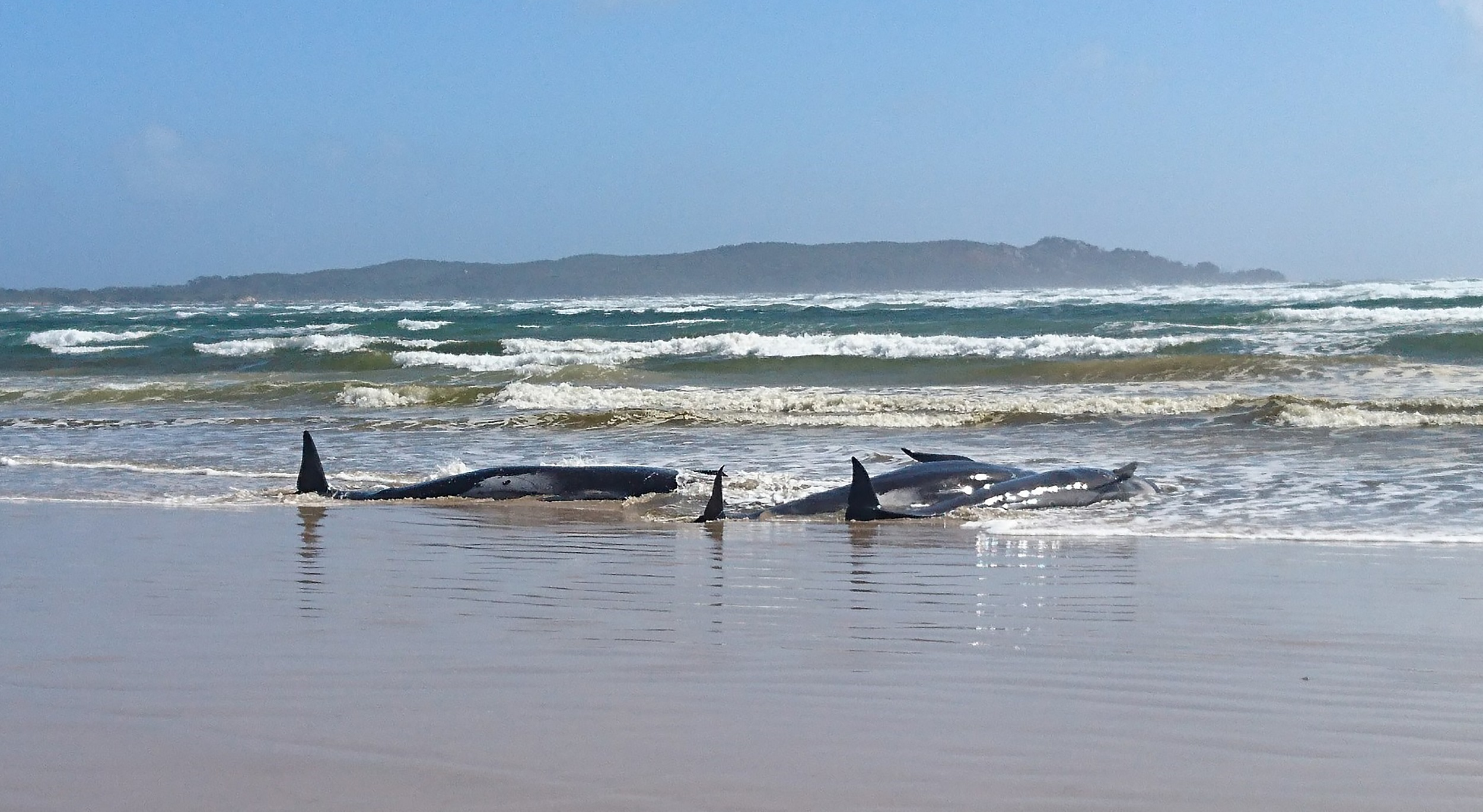 Hundreds of whales stranded on sandbar off Australian island