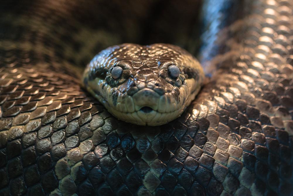 US naturalist battles snake for TV, but not eaten alive as promised
