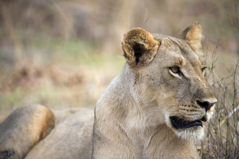 File: The husband and wife team were filmed with lions in the Mara Plains in Kenya in a section of a National Geographic film to mark 50 years of Earth Day.