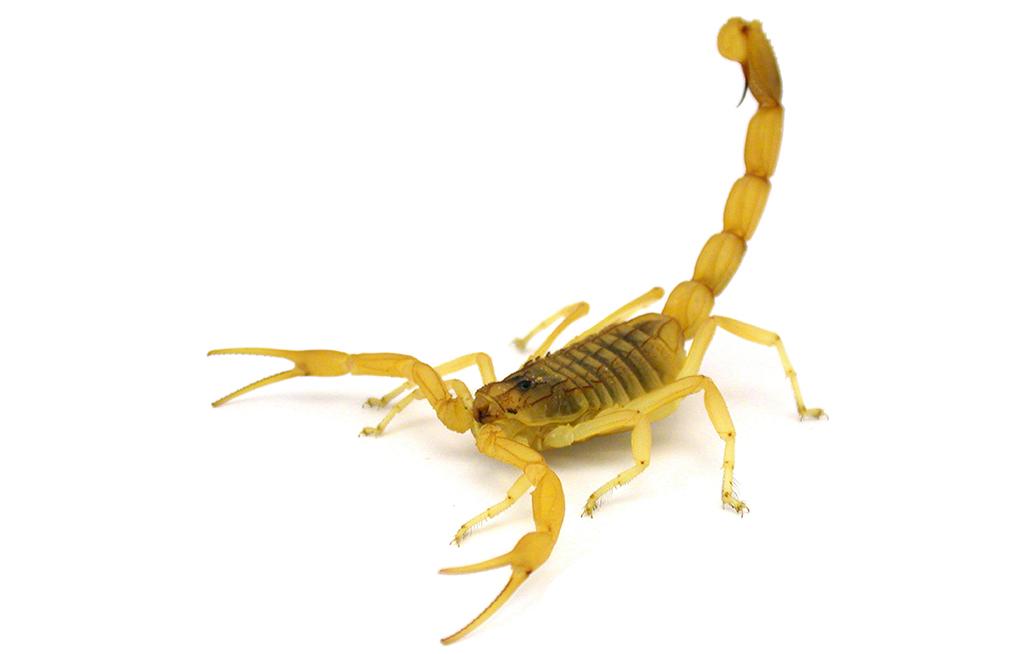 Deathstalker scorpion whips into victory   eNCA