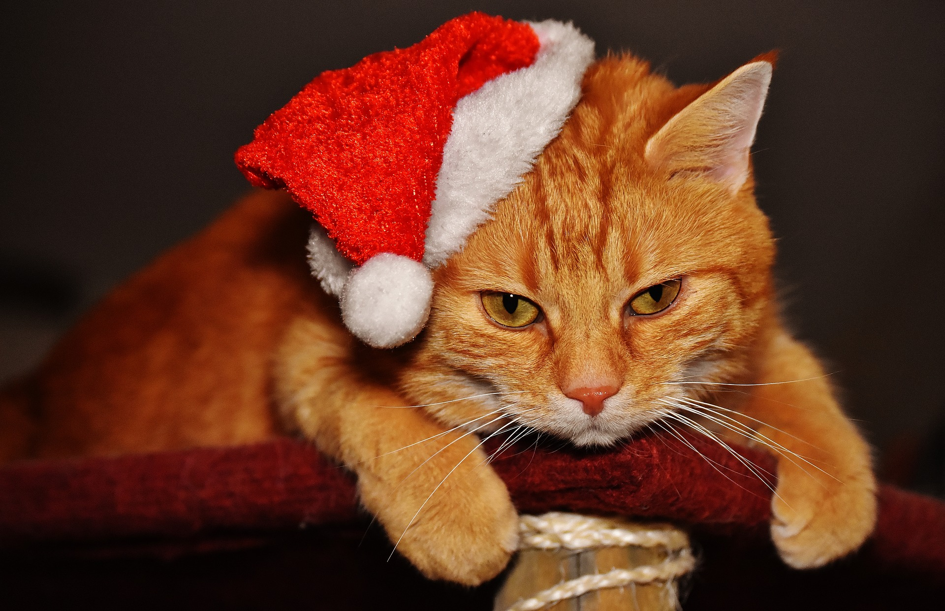WEB_PHOTO_CHRISTMAS_CAT_101217