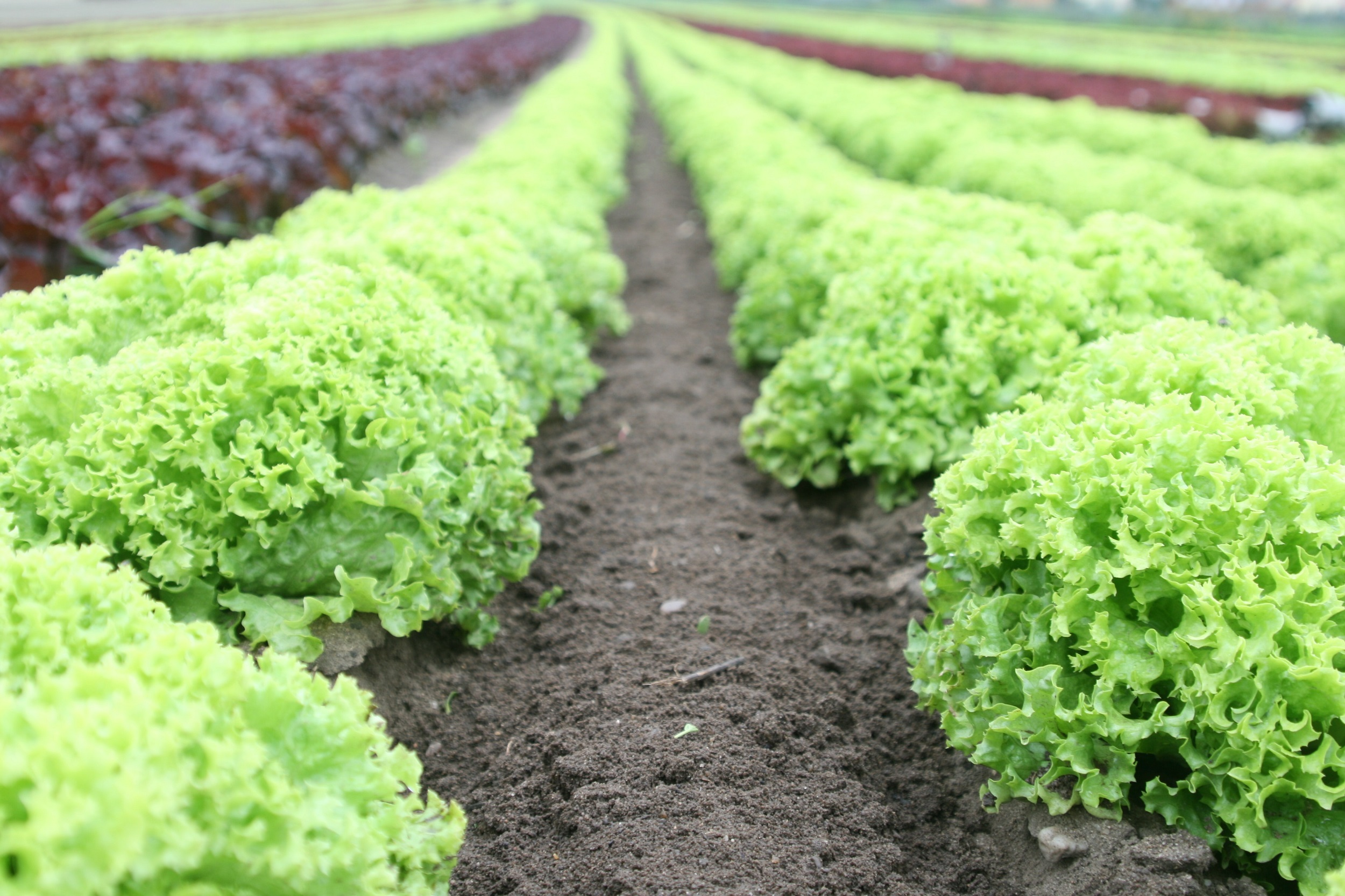 Photo_Web_Lettuce_210418