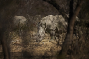 A white rhino stands during a guided safari tour at the Dinokeng Game Reserve outside Pretoria.