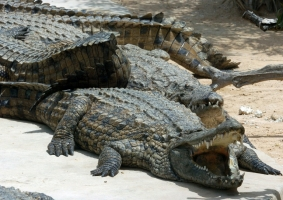 An unknown number of young Nile crocodiles are on the loose