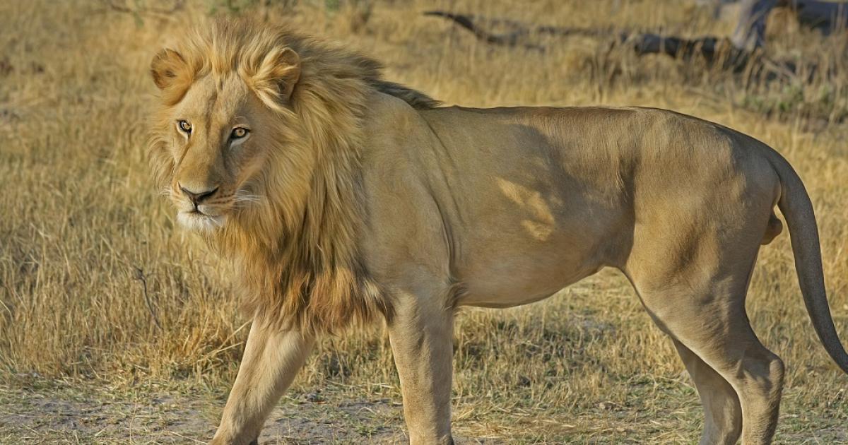 Lion kills man at Dinokeng reserve - eNCA