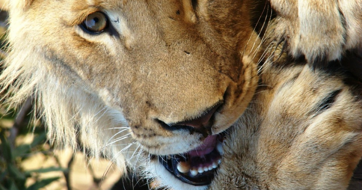 Manhunt for Pretoria lion killers - eNCA