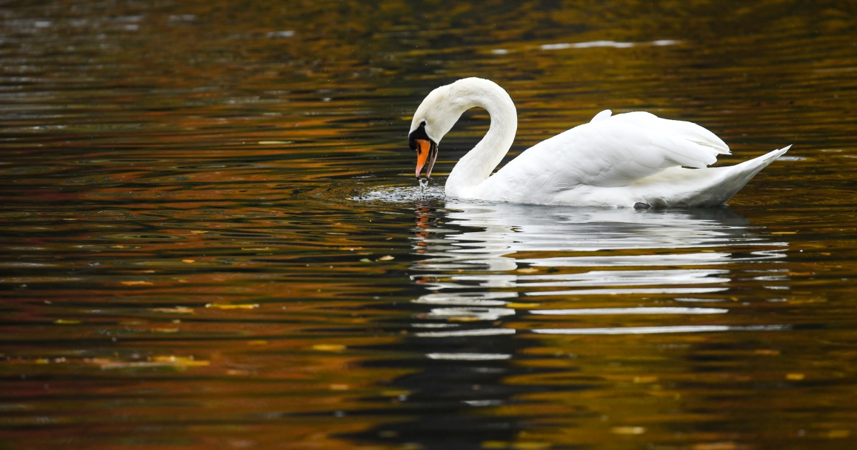 Swan Deutsch