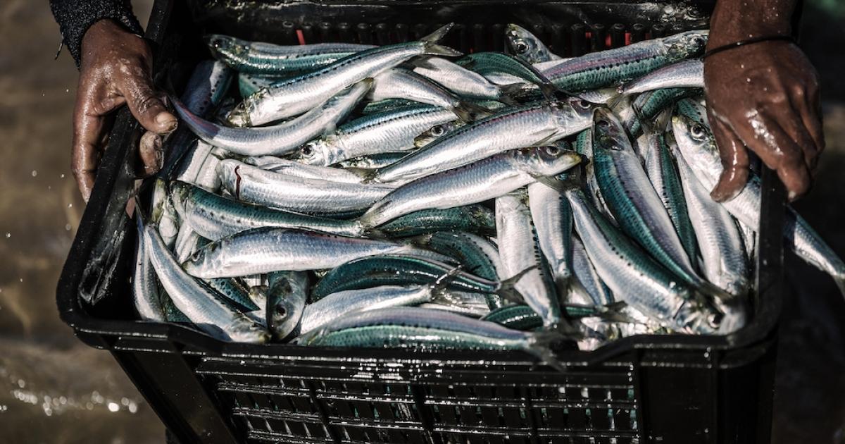 Coastline buzzing as sardine fever hits KZN