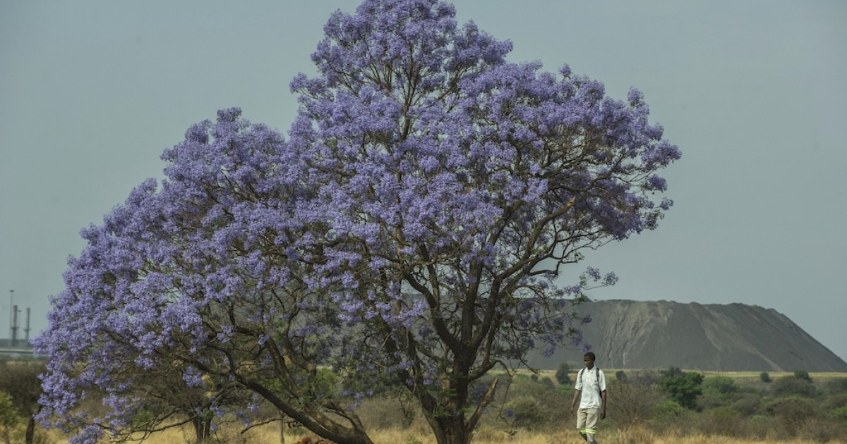 Jacarandas in parts of SA are flowering earlier: Why it's a warning sign