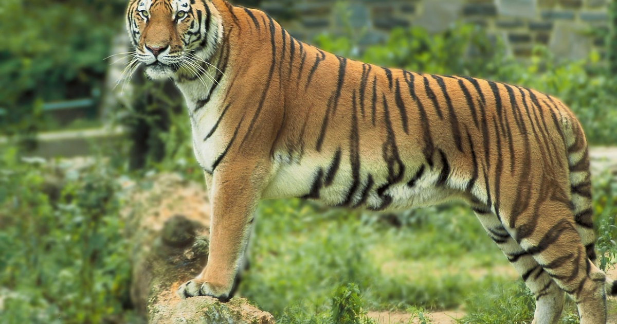 India's wild tiger population jumps to almost 3,000: census