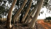 File: Alien species, such as eucalyptus trees which are largely native to Australia, are thirstier than indigenous vegetation.