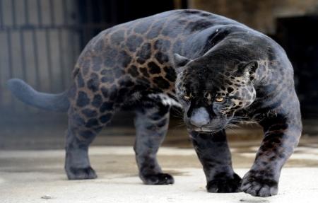 Jaguar attacks selfie-taking woman at zoo | eNCA